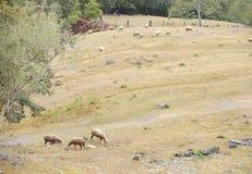 Élevage des moutons sur la montagne Photos stock