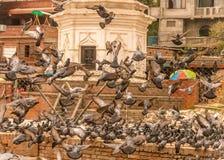Élevage des pigeons Images stock