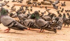 Élevage des pigeons Photographie stock libre de droits
