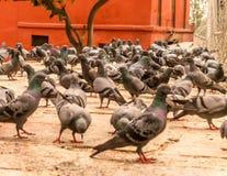 Élevage des pigeons Photos libres de droits