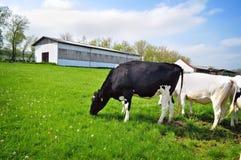 Élevage des vaches à agriculture Photos stock