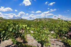 Élevage des vignes Photographie stock