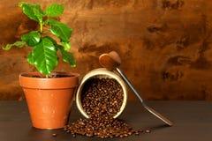 Élevage domestique de café Cuvettes de café et grains de café frais autour Jeunes arbres de café sur la table Centrales croissant Photo libre de droits