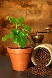Élevage domestique de café Cuvettes de café et grains de café frais autour Jeunes arbres de café sur la table Centrales croissant Images libres de droits