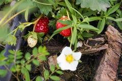 Élevage doux de fraise de foyer Photographie stock libre de droits