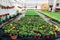 Élevage du bégonia dans des pots de fleur en plastique en serre chaude Images stock