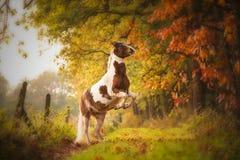 Élevage du cheval dans la forêt Photographie stock libre de droits
