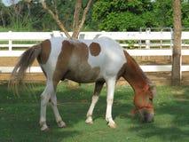 Élevage du cheval dans le pré Image stock
