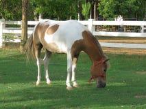 Élevage du cheval dans le pré Photos libres de droits