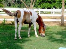Élevage du cheval dans le pré Photographie stock