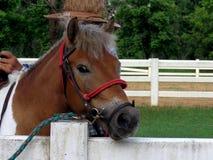 Élevage du cheval dans le pré Photo stock