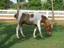 Élevage du cheval dans le pré Photos stock