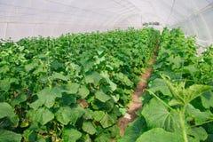 Élevage du concombre en serre chaude Photos libres de droits
