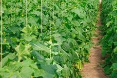 Élevage du concombre en serre chaude Photo stock