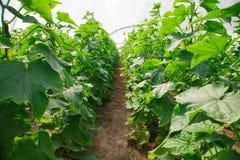 Élevage du concombre en serre chaude Image libre de droits