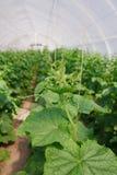 Élevage du concombre en serre chaude Photo libre de droits