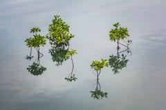 Élevage du petit palétuvier en rivière, la Thaïlande Photos stock