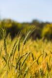 Élevage du plan rapproché de blé Photographie stock libre de droits