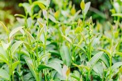 Élevage du thé avec la fraîcheur Photos stock