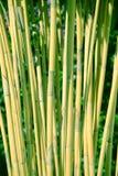 Élevage en bambou vert en nature en Amérique Centrale Images libres de droits