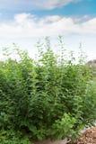 Élevage en bon état d'arome frais dans le jardin Photographie stock
