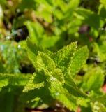 Élevage en bon état dans le jardin d'herbes aromatiques Images libres de droits