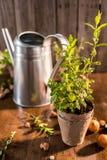 Élevage en bon état dans un pot de fleurs Photographie stock
