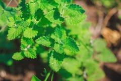 Élevage en bon état vert dans le jardin Images stock