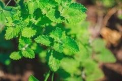 Élevage en bon état vert dans le jardin Photographie stock libre de droits