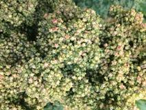 Élevage en gros plan d'usine de quinoa Images stock