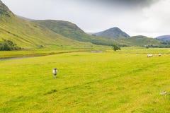 Élevage et chèvres de moutons le long de la route entre le fortingall et le l Images stock