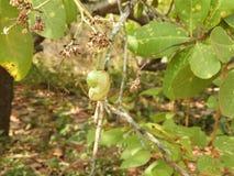 Élevage et fourmis de noix de cajou Photos stock