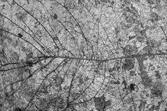 Élevage exposé par racine d'arbre sur le mur Photographie stock libre de droits