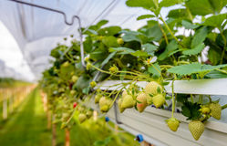 Élevage extérieur de maturation de fraises sur le substrat à un speciali Photo libre de droits