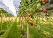 Élevage extérieur de maturation de fraises sur le substrat à un speciali Photos libres de droits