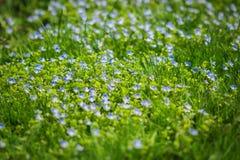 Élevage filamenteux de Veronica parmi l'herbe verte Images libres de droits