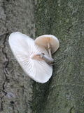 Élevage fongueux de porcelaine sur l'écorce d'arbre de hêtre Image libre de droits
