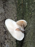 Élevage fongueux de porcelaine sur un arbre de hêtre Photo libre de droits