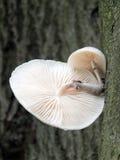 Élevage fongueux de porcelaine sur un arbre de hêtre en automne Image stock