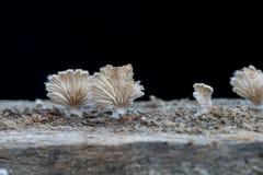 Élevage fongueux en gros plan, champignon sur un bois Images libres de droits