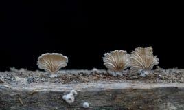 Élevage fongueux en gros plan, champignon sur un fond foncé en bois Image libre de droits