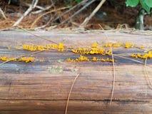 Élevage fongueux jaune sur le rondin Images stock