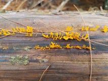 Élevage fongueux jaune sur le rondin Photo libre de droits