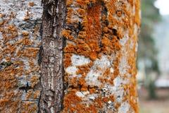 Élevage fongueux rouge sur un vieil arbre image stock