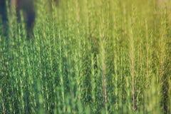Élevage frais d'herbe de romarin Photographie stock libre de droits