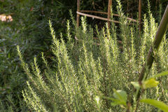 Élevage frais d'herbe de romarin Images stock