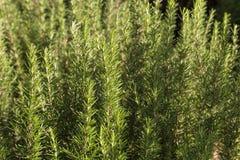 Élevage frais d'herbe de romarin Photos stock
