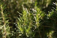 Élevage frais d'herbe de romarin Image stock