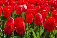 Élevage frais de tulipes de ressort Photographie stock libre de droits