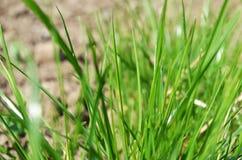 Élevage frais vert d'herbe Photographie stock libre de droits